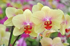 Yellow orchid flowers Royalty Free Stock Photography