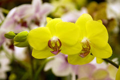 Yellow orchid flowers. Two beautiful yellow orchid flowers Royalty Free Stock Photo