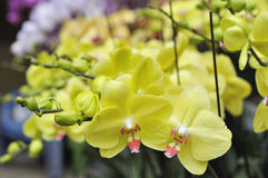 Yellow orchid flowers Royalty Free Stock Images