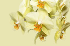 Yellow orchid flowers. On a yellow background stock photos