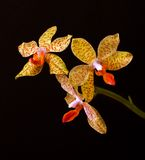 Yellow orchid flowers on black background Royalty Free Stock Images