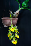 Yellow orchid flowers  black Royalty Free Stock Photography