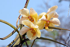 Yellow orchid flowers. Stock Image