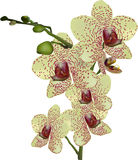 Yellow orchid flowers in dark red spots on white Royalty Free Stock Photo