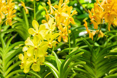 Yellow orchid flowers Stock Image