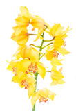 Yellow orchid flowers royalty free stock image