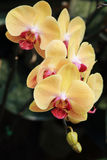 Yellow orchid flowers Stock Images