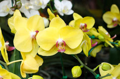 Yellow orchid flowers Stock Photography