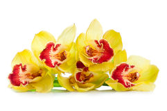Yellow orchid flowers isolated on white Stock Photo