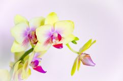 Yellow orchid flowers on light blue background stock images