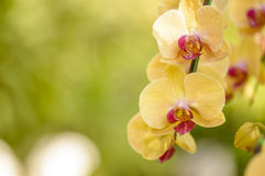 Yellow orchid flowers on the nature Royalty Free Stock Photos
