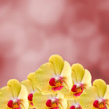 Yellow orchid  flowers, Orchidaceae, Phalaenopsis known as the Moth Orchid, abbreviated Phal. Red light bokeh background Royalty Free Stock Image