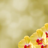 Yellow orchid  flowers, Orchidaceae, Phalaenopsis known as the Moth Orchid, abbreviated Phal. Yellow light bokeh background Royalty Free Stock Photos