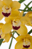 Yellow Orchid flowers over white (Cymbidium sp) Stock Images