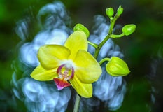 Yellow orchid flowers radiate color Royalty Free Stock Images