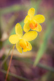 Yellow orchid in forest Royalty Free Stock Image