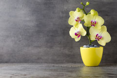 Yellow orchid on the grey background. Stock Photos