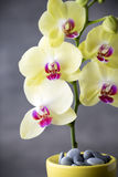 Yellow orchid on the grey background. Royalty Free Stock Photos