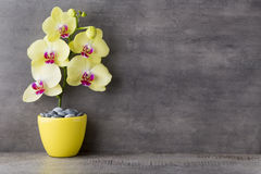 Yellow orchid on the grey background. Royalty Free Stock Photography