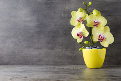 Yellow orchid on the grey background. Royalty Free Stock Images