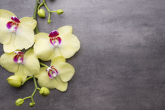 Yellow orchid on the grey background. Stock Photography