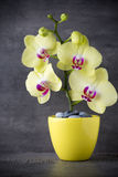 Yellow orchid on the grey background Stock Photography