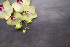 Yellow orchid on the grey background. Royalty Free Stock Photo