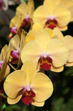 Yellow orchid. This is orchid grown on the farm. Farms located in Chiang Mai at Thailand stock photo
