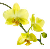 Yellow Orchid Is Isolated On A White Background Stock Image