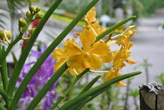 Yellow orchid. From the island of Jamaica royalty free stock image