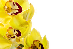 Yellow orchid isolated Stock Images