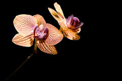 Yellow orchid isolated black Royalty Free Stock Image