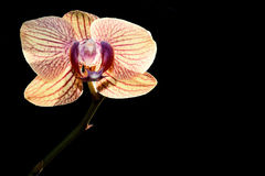 Yellow orchid isolated black Royalty Free Stock Photography