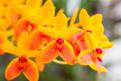 Yellow orchid Royalty Free Stock Photos