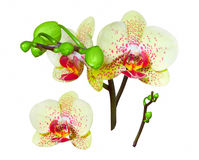 Yellow orchid, isolated. Yellow orchid on a white background with a large flower, isolated Stock Photo
