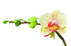 Yellow orchid, isolated. Yellow orchid on a white background with a large flower, isolated Stock Image