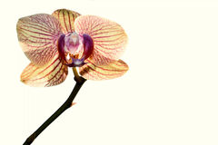 Yellow orchid isolated white Royalty Free Stock Images