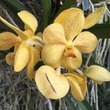 Yellow orchid. In Kew Gardens Royalty Free Stock Images