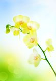 Yellow orchid on natural blue background Royalty Free Stock Image