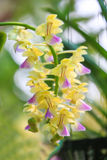 Yellow orchid Stock Photos