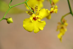 Yellow orchid (Oncidium hybrid). A Yellow Oncidium Orchid like a dancing girl, yellow petals and brown center, captured under the natural environment Royalty Free Stock Images