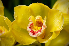 Yellow orchid (Orchidáceae)  close up Stock Photos
