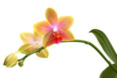 Yellow orchid phalaenopsis Stock Images