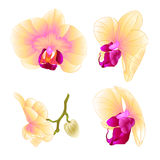 Yellow Orchid Phalaenopsis beautiful flower closeup set second vintage  vector editable illustration Stock Photo