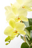 Yellow orchid (Phalaenopsis) close-up. Stock Images