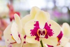 Yellow orchid, Phalaenopsis Stock Photos