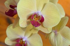 Yellow Orchid Phalaenopsis. Yellow orchid with pink and white color in the middle Stock Photo