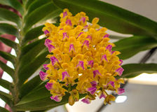 Yellow orchid. Stock Photography