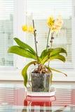 Yellow orchid. Pot flower in transparent flowerpot. Houseplant stock photos