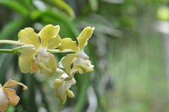 YELLOW ORCHID Stock Photography